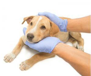 Veterinarian with blue gloves holding puppy's head