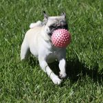 White pug dog playing with red ball