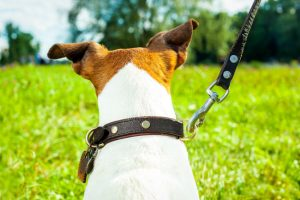 Mixed Breed dog on leash looking into field