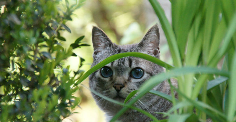 Gray striped cat hiding in greenery